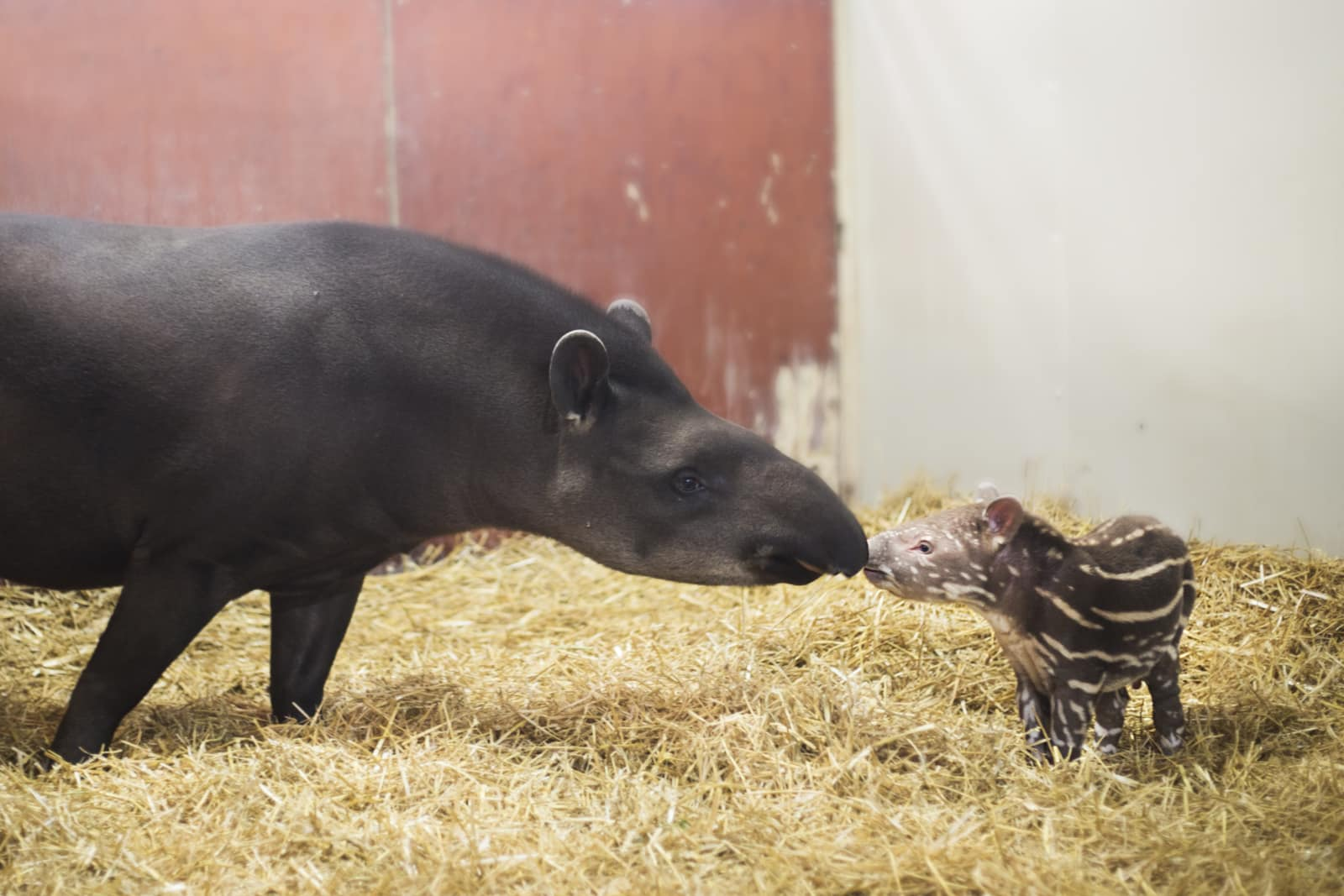 tapir-torsten-kolmarden